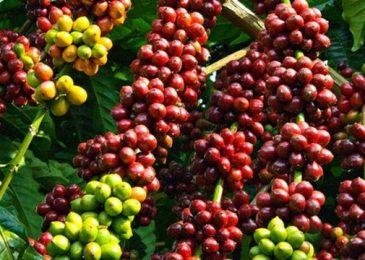 Danh sách các mã cổ phiếu ngành cà phê nên đầu tư 2021
